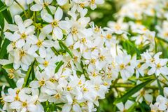 Mexican orange blossom flowers in macro closeup, White aromatic flowering plant from Mexico, Popular tropical cultivated shrub,. A mexican orange blossom flowers stock images