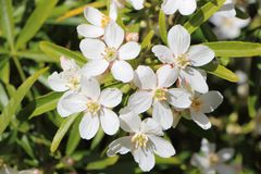 Mexican orange blossom flowers. White Mexican orange blossom flowers in a garden during summer Stock Photo