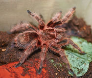 Mexican orange tarantula spider Royalty Free Stock Photos