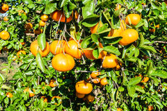 Mexican Oranges. Oranges from a ranch near Tuxpan, Veracruz state in Mexico stock photography