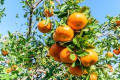 Mexican Oranges. Oranges from a ranch near Tuxpan, Veracruz state in Mexico stock photos