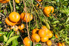 Mexican Oranges. Oranges from a ranch near Tuxpan, Veracruz state in Mexico royalty free stock images