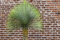 Mexican Palm Tree Royalty Free Stock Image