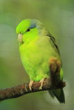 Mexican parrotlet Stock Images