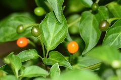 Mexican pepper plant Royalty Free Stock Photography