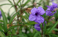 Mexican Petunia. Purple flower Mexican Petunia,  ruellia brittoniana, is a perennial shrub Stock Image