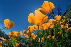 Mexican Poppy Stock Image