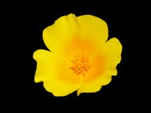Mexican Poppy. Similar to California Poppy, but with more yellow Royalty Free Stock Images