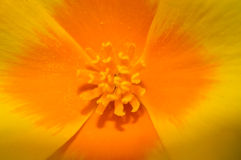 Mexican Poppy flower Stock Photo
