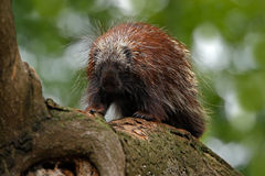 Mexican Prehensile-tailed Porcupine Royalty Free Stock Photos