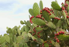 Mexican prickly pear I Stock Image