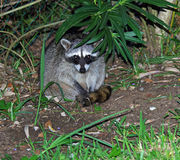Mexican Raccoon Royalty Free Stock Images