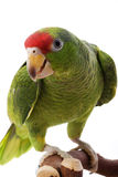 Mexican Red-headed Amazon Parrot Royalty Free Stock Image