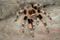 Mexican Red Knee Tanantula Royalty Free Stock Photos