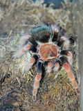 Mexican red knee tarantula Stock Photos