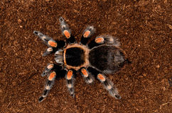 Mexican red knee tarantula. Beautiful mature female Mexican red knee tarantula (Brachypelma smithi Stock Images