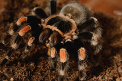 Mexican red knee tarantula Stock Photo