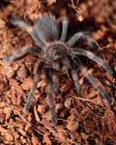 Mexican Red Knee Tarantula. Juvenile female mexican red knee tarantula (brachypelma smithi) eating a cricket Stock Images