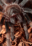 Mexican Red Knee Tarantula. Juvenile female mexican red knee tarantula (brachypelma Smithi) eating a cricket Royalty Free Stock Photos