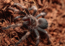 Mexican Red Knee Tarantula. Juvenile female mexican red knee tarantula (brachypelma smithi) eating a cricket Stock Photos