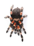Mexican red knee tarantula Royalty Free Stock Photo
