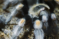 Mexican red knee tarantula (Brachypelma smithi). Close-up of a Mexican red knee tarantula (Brachypelma smithi Stock Images