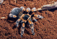 Mexican red knee tarantula. Brachypelma smithi. close-up on a background of brown soil Stock Photo