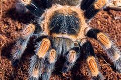 Mexican red knee tarantula Royalty Free Stock Photos