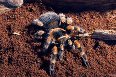 Mexican red knee tarantula. Brachypelma smithi. close-up on a background of brown soil Royalty Free Stock Images