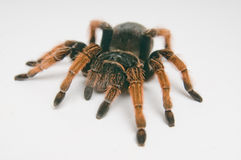 Mexican Red-kneed Tarantula. Focus on head Royalty Free Stock Images