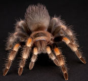 The Mexican Red-Kneed. Mexican red-kneed tarantula is a terrestrial tarantula native to the western faces of the Sierra Madre Occidental and Sierra Madre del Sur Stock Photo