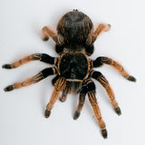 Mexican Red-kneed Tarantula view from top Royalty Free Stock Images