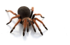 Mexican Red-legged Tarantula Stock Images