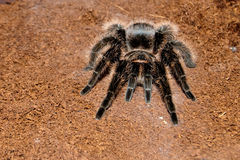 Mexican Red Rump or Black Velvet Tarantula Royalty Free Stock Images