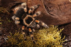 Mexican Redknee spider Royalty Free Stock Image
