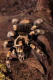 Mexican Redknee spider Royalty Free Stock Photography