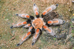 Mexican Redknee spider - Brachypelma smithi. In Changmai Thailand Royalty Free Stock Photography