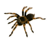 Mexican redknee tarantula Royalty Free Stock Images
