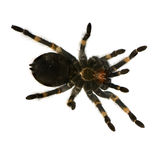 Mexican redknee tarantula Stock Photography