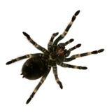 Mexican redknee tarantula Royalty Free Stock Photo