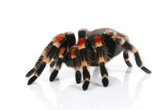 Mexican redknee tarantula Stock Photo