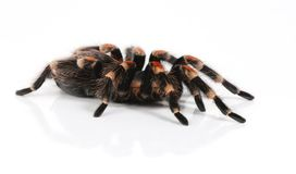 Mexican redknee tarantula Stock Photos