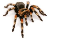 Mexican Redknee Tarantula   (Brachypelma smithi). One of the most sought after tarantulas. Colorful and mild temperment. It will throw hairs from its abdomen Royalty Free Stock Image