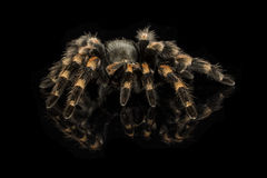 Mexican redknee tarantula. The Mexican redknee tarantula Brachypelma smithi is a terrestrial tarantula native to the western faces of the Sierra Madre Occidental Stock Images