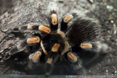 Mexican redknee tarantula (Brachypelma smithi). Wildlife animal Royalty Free Stock Photography