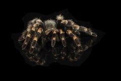 Mexican redknee tarantula Royalty Free Stock Photography