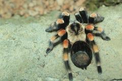 Mexican redknee tarantula Stock Photo