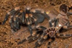 Mexican redknee tarantula shedding it`s skin, Brachypelma smithi Stock Image