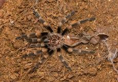 Mexican redknee tarantula shedding it`s skin, Brachypelma smithi Royalty Free Stock Image
