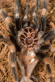 Mexican redknee tarantula shedding it`s skin, Brachypelma smithi. Macro Stock Photo